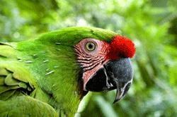 La Guacamaya Verde está en peligro de extinción en México.