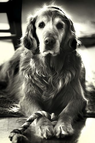 """Portrait of a Legend""  Handsome, regal and pensive older dog.  We lose them way too soon!"