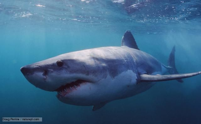 pics of great white sharks | BBC Nature - Great white shark videos, news and facts