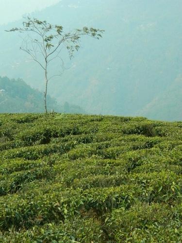 First Flush Darjeeling growing just for American Tea Room: Teas Rooms, Té Chá Thé Teas Chai, Teas Time, Teas Stories, Teas Teas, Teas Resources, American Teas, Teas Drinks, Darjeeling Teas