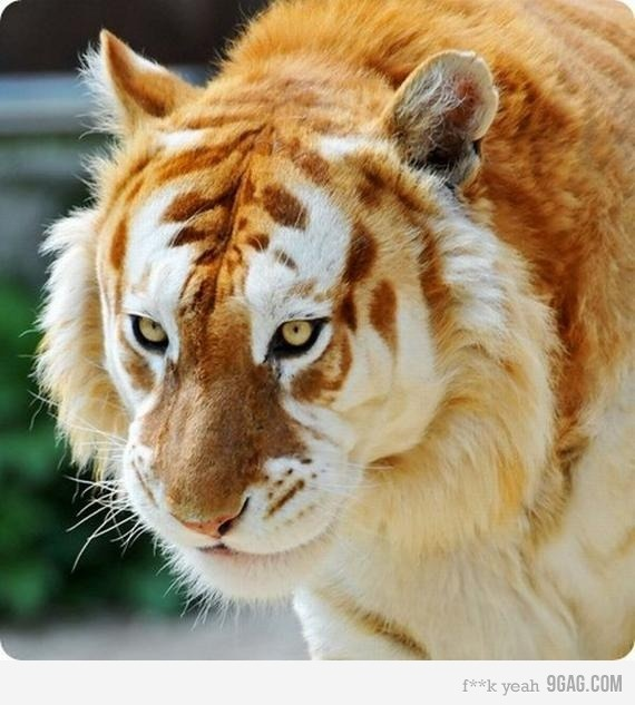 Extremely rare golden tiger.