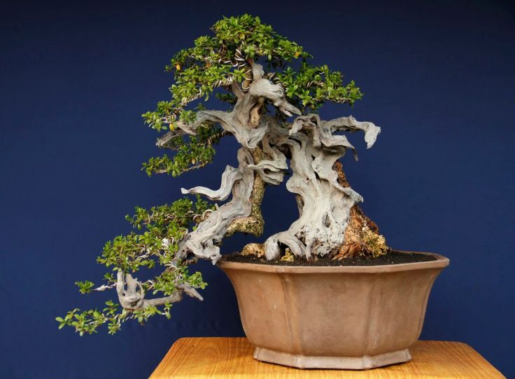 bonsai name: Pemphis acidula tree height: 49 cm pot diameter: 47 cm pot by Made in Bali design: gede merta collection gede merta