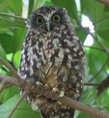 Morepork owl NZ