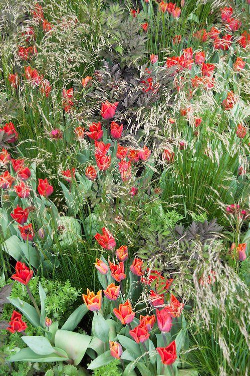 Tulipa sprengeri interplanted with grasses, The Telegraph Garden, RHS Chelsea…