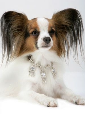 A beautiful Papillon with the world's expensive dog collar. That is so sweet. Please check out my website thanks. www.photopix.co.nz