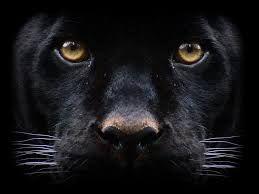 schwarzer puma herkunft