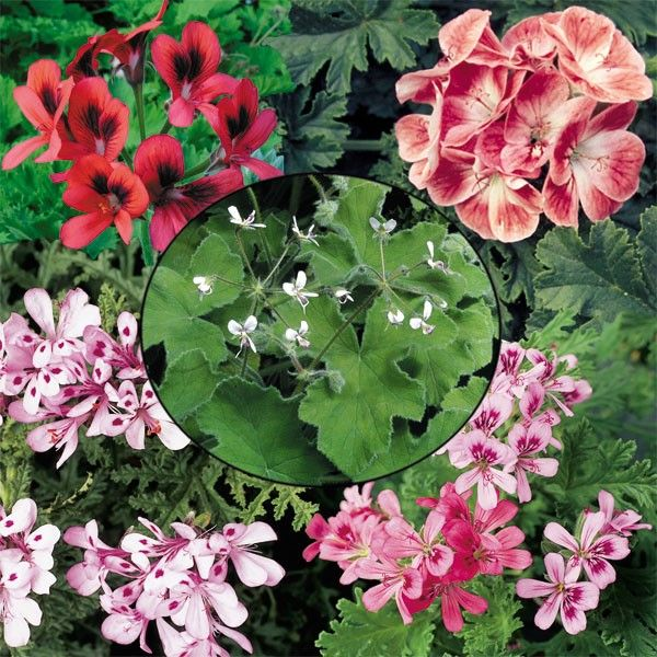 Types Of Geraniums: 120 Best Images About Scented Geraniums On Pinterest