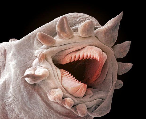 Poliquetos abisales. Diseñados para dar miedo  Estos animales viven a profundidades superiores a los mil metros, donde no llega la luz del sol.   Crecen en los alrededores de las chimeneas hidrotermales que hay en el fondo del océano, en los bordes de las placas tectónicas.   En estos lugares las comunidades biológicas subsisten obteniendo su alimento de bacterias que aprovechan la energía química, al no poderse realizar la fotosíntesis por ausencia de luz.