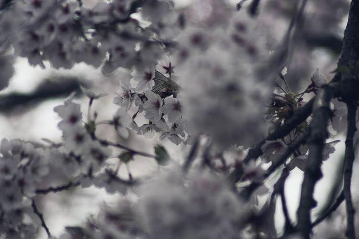 cherry-blossoms-toronto-ou-6