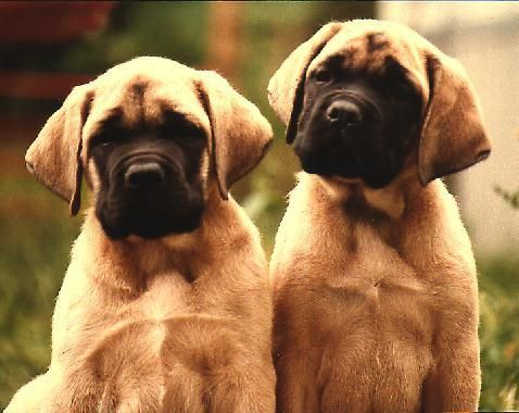English Mastiff Puppies the day i graduate you will be mine and we will be so in love!