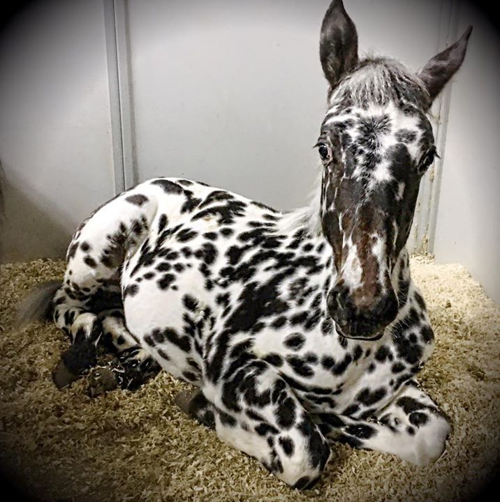 Gorgeous Laying Down Black Leopard Appaloosa Foal. Please also visit www.JustForYouPropheticArt.com for colorful, inspirational art and stories. Thank you so much!