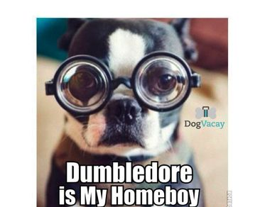 For more LOL's click here: http://blog.dogvacay.com/photo-gallery-dog-memes-3/Geek, Puppies, Funny Dogs, Glasses, Smarties Article, Pets, Harry Potter, Boston Terriers, Animal