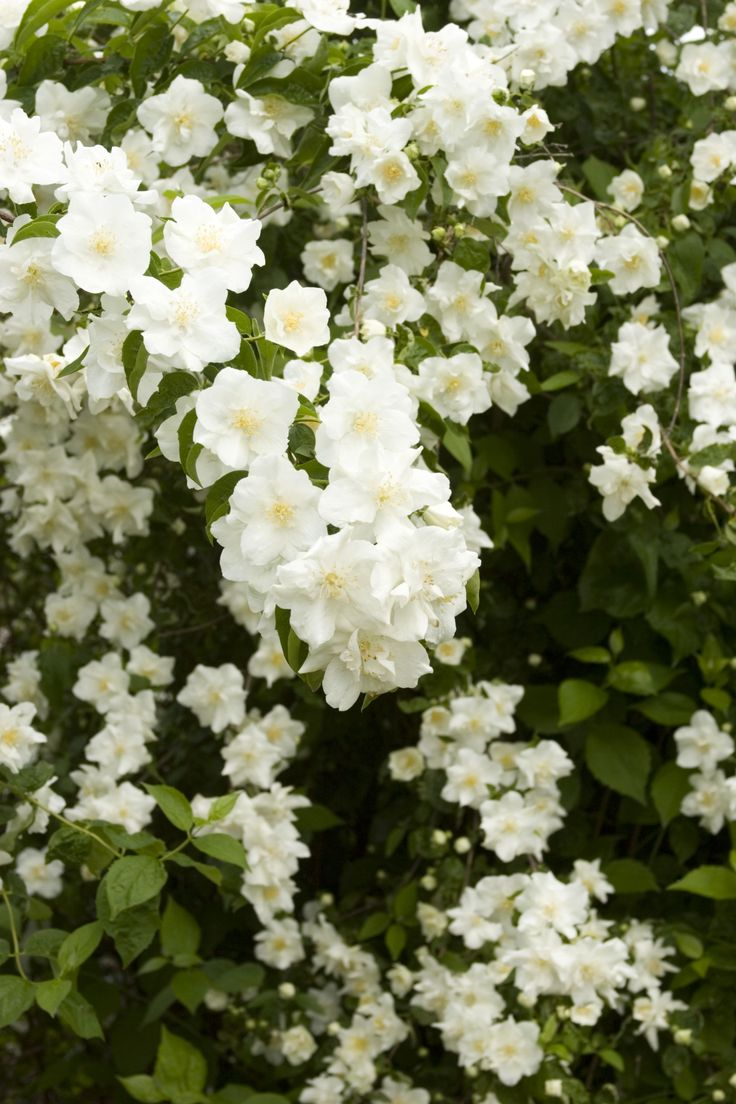 Best shrubs for full sun and privacy - Natchez Mock Orange Light Needs Full Sun Sunset Climate Zones 2 17 Water Needs Needs Regular Watering Weekly Or More Often In Extreme Heat
