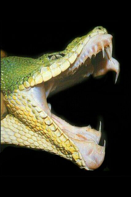 The hinged mouth of a Snake