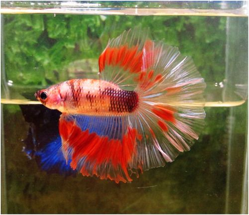 43 best c lia thia images on pinterest for Betta fish for sale at walmart