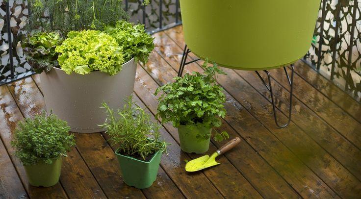 Même à l'ombre, les plantes aromatiques s'épanouissent
