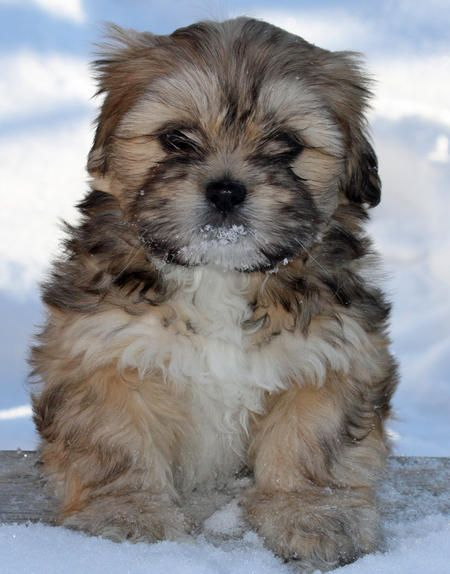 Shelby the Lhasa Apso