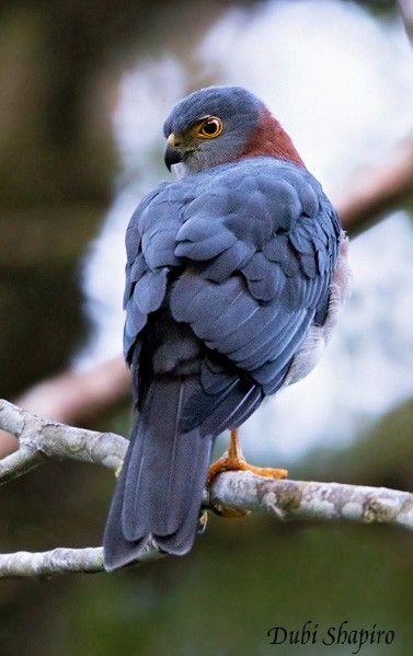 Rufous-necked Sparrowhawk