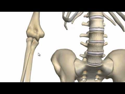 Anatomy Of Elbow | 3D anatomy tutorial on the features of the elbow joint.