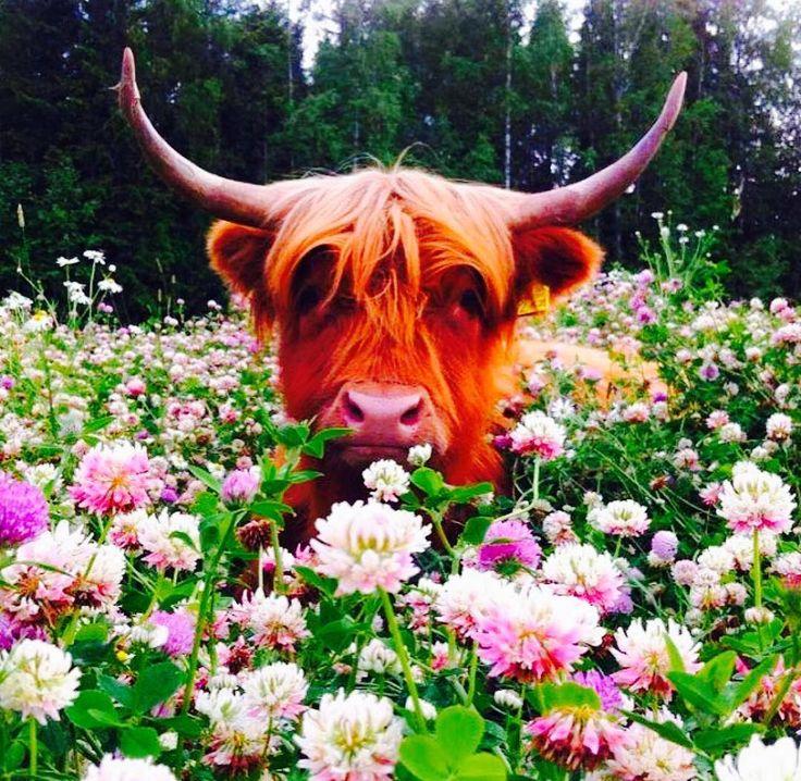 меня картинки корова с цветком особенная подборка картинок