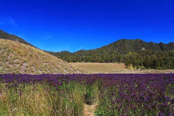 Lavender Field, Mt. Semeru, Indonesia