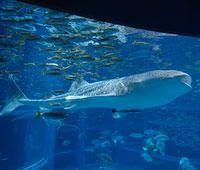 "Walhai (Aquarium ""Pazifischer OzeanE"