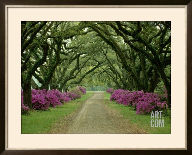 A Beautiful Pathway Lined with Trees and Purple Azaleas Photographic Print by Sam Abell at Art.com