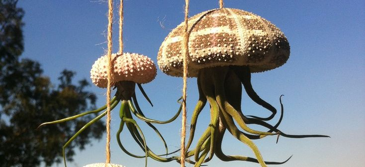 Our Unique Air Plant Jellies are ever so popular! #airplants #tillandsia #airplantdesigns #shells #urchins #jellyfish #ethicallysourced #hanginggarden