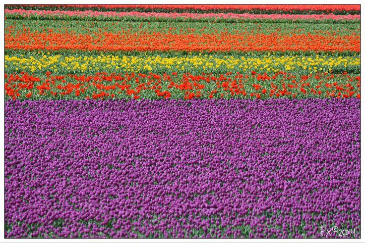Purple Red & Yellow tulips
