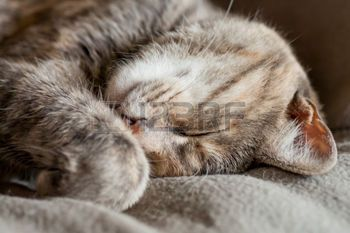 curled up cat: Tortoiseshell-tabby grey and ginger cat sleeping on a grey blanket