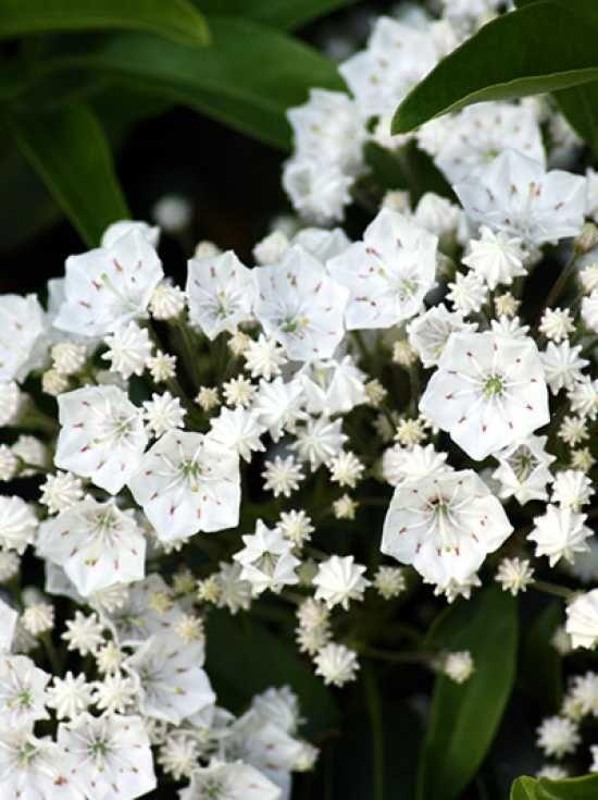 Kalmia myrtifolia 'Elf' / Lorbeerrose 'Elf' / Berglorbeer 'Elf' – eine kleinwüchsige Kalmia-Sorte (bis 90cm), die aber trotzdem mit toller Blütenpracht begeistert, die anfangs zartrosa ist und sich dann zu klassischem Weiß entwickelt.