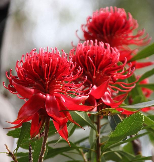 Australian National Flower -  Waratahs