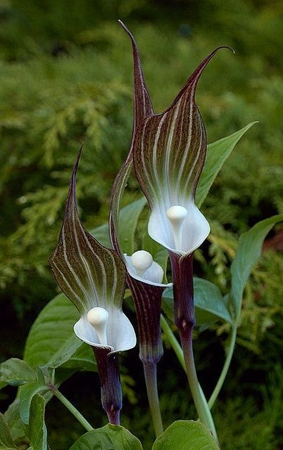Arisaema sikokianum is a herbaceous perennial plant. An unusual woodland plant noted for its unmistakable smoky-purple base, snow-white cup and large hood with purple, green and white stripes. Found only in moist, shaded areas in Japan.