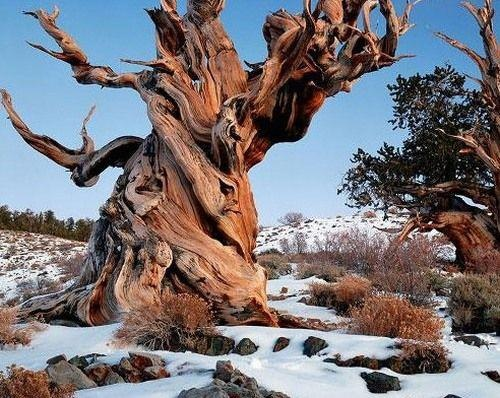 The tree is called the Methuselah Tree, and it is the oldest living thing that we know about. It is a type of pine tree that grows in the White Mountains of Inyo County California. The oldest tree dates back to the year 2832 BC, making it 4843 years old, and its location remains undisclosed to protect it from vandalism!     The tree was discovered in 1957 by Edmund Schulman and Tom Harlan, and has since been the marvel of scientists around the world.