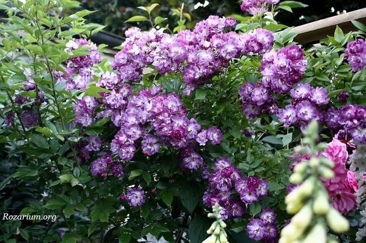Znalezione obrazy dla zapytania róże angielskie pnące velichenblau