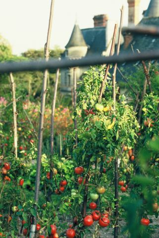 Tomatoe Gardens   Dad Took Such Pride In His Plants. More On Growing  Tomatoes At
