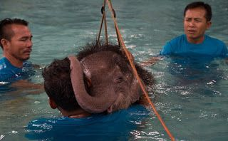 """O Grito do Bicho"": Na Tailândia, elefanta mutilada faz hidroterapia p..."