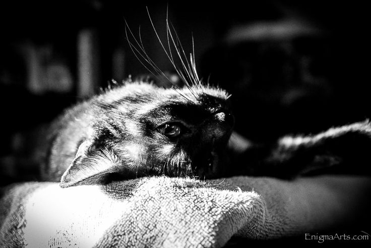 Gothic Kitty Phoebe napping in the sun.  Black cat, Burmese cat, gothickitty.com
