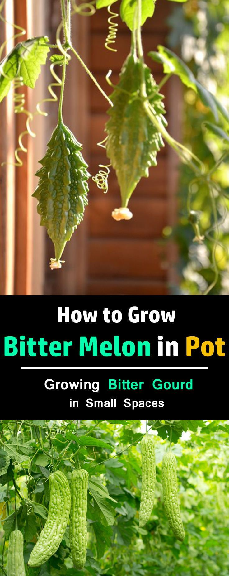 Growing Bitter Melon In The Vegetable Garden: 25+ Best Ideas About Growing Melons On Pinterest