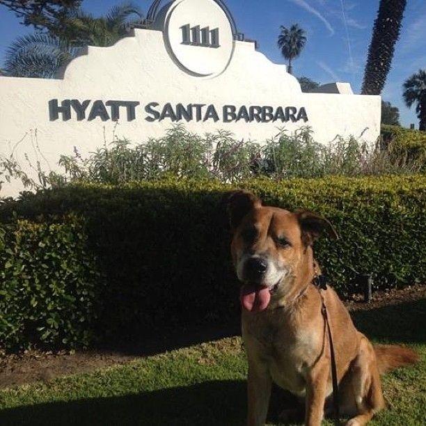 Rocky staying with Hyatt Santa Barbara. Photo courtesy of @amandashley01 on Instagram. #PetsofHyatt
