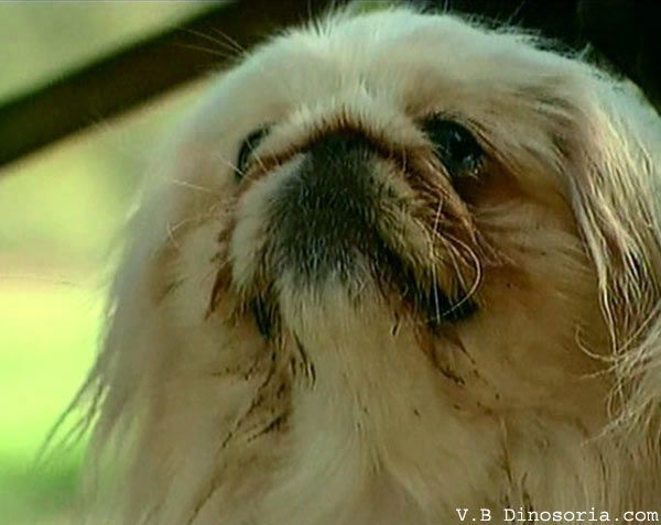 Races de chiens: Pékinois - Frawsy
