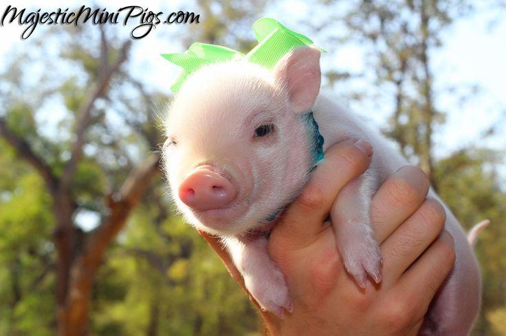 Baby mini pig - MajesticMiniPigs.com