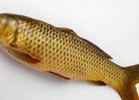 Tentang Ikan Mas
