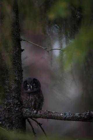 Young Boreal owl - nuori helmipöllö. Kokkola, Finland by Jani Ylikangas.