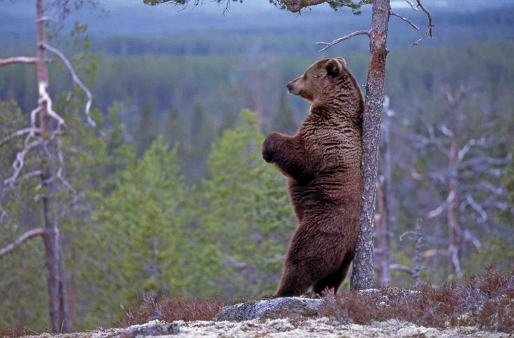 Finland's national animal is a bear. #Finland #national #animal #bear