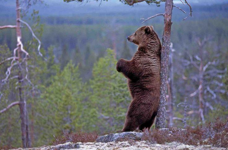 Finland's national animal is a bear. #Finland #national #animal #bear