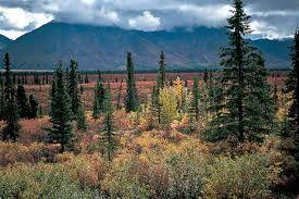 El Bosque Boreal es relativamente homogéneo y su forma de vida característica es la conífera, sobre todo abetos (Abies), pinabetes (Picea) y pinos (Pinus).