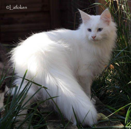 1000 id es sur le th me norv gien chat sur pinterest chaton norvegien chat - Couleur wenge c est quoi ...