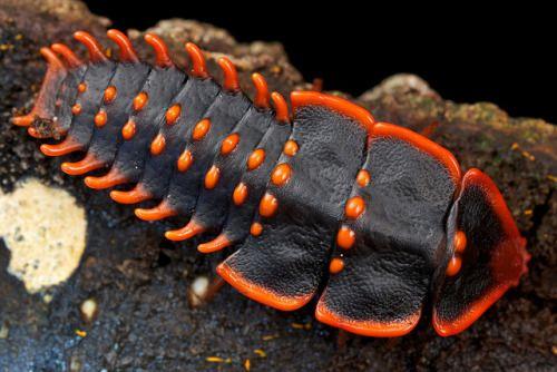 Trilobite beetle (Duliticola sp.)