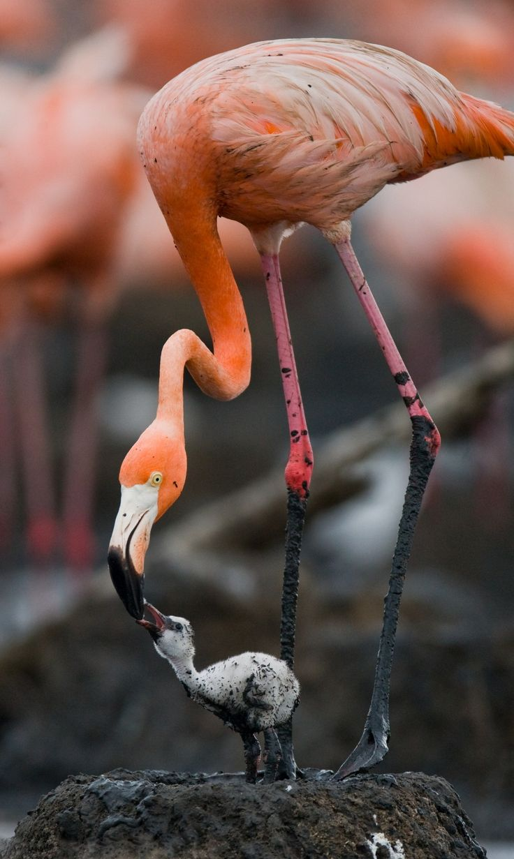 Flamingo with nestling / son aves de ellas hay 4 especies, pueden ser color crema.